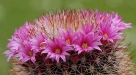 Mammillaria Photo Free
