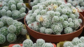 Mammillaria Wallpaper Download Free
