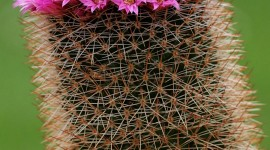 Mammillaria Wallpaper For Mobile