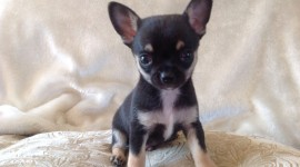 Micro Dogs Photo Free