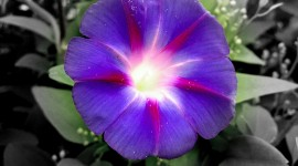 Morning Glory Photo Download#1