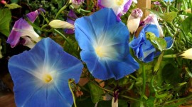Morning Glory Photo#1