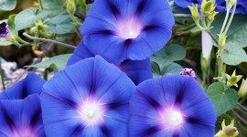 Morning Glory Wallpaper Download