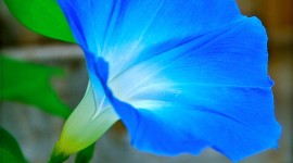 Morning Glory Wallpaper For IPhone