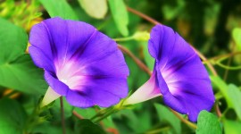 Morning Glory Wallpaper Free