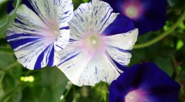 Morning Glory Wallpaper Full HD