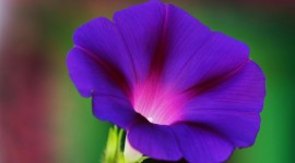 Morning Glory Wallpaper Gallery