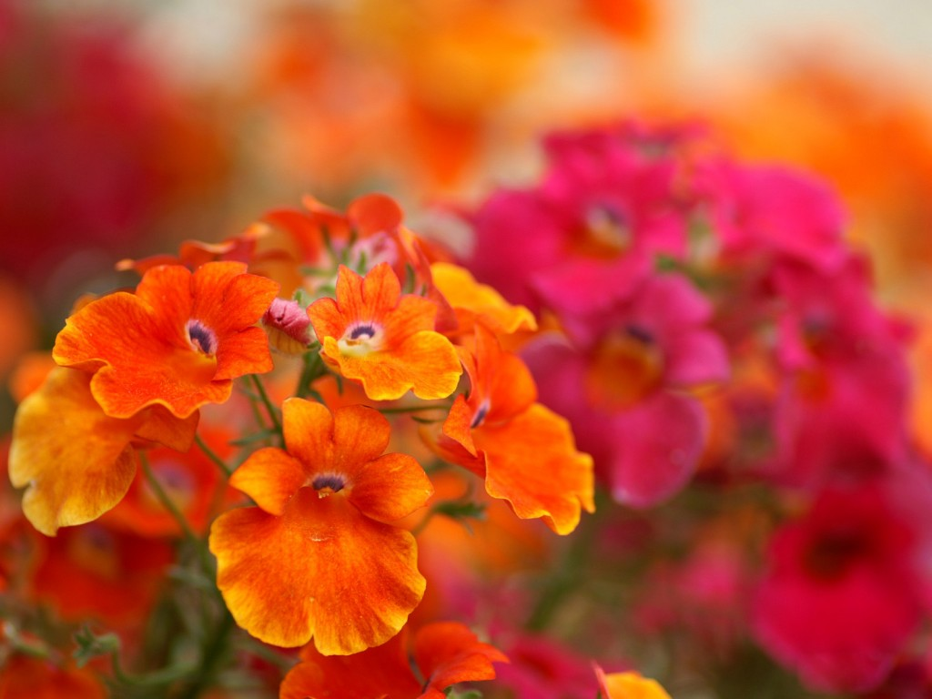 Nemesia wallpapers HD