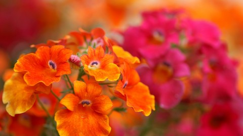 Nemesia wallpapers high quality