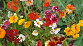 Nemesia Photo