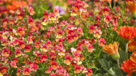Nemesia Wallpaper For IPhone Free