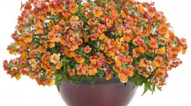 Nemesia Wallpaper Gallery