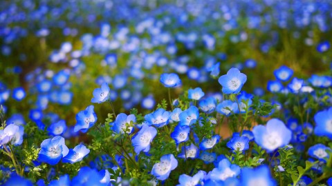Nemophila wallpapers high quality