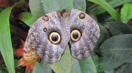 Owl Butterfly Photo
