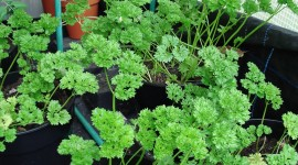 Parsley Wallpaper Download Free