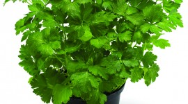 Parsley Wallpaper For IPhone Free