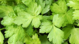 Parsley Wallpaper HD