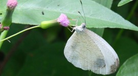 Pieridae Butterfly Photo Download