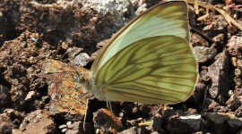 Pieridae Butterfly Photo Free