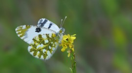 Pieridae Butterfly Photo Free#2