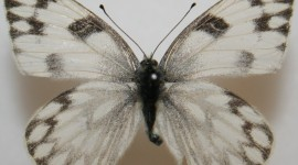 Pieridae Butterfly Photo#2
