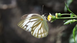 Pieridae Butterfly Wallpaper Download