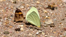 Pieridae Butterfly Wallpaper For Desktop