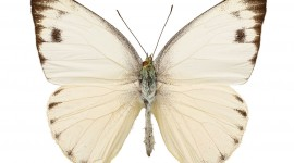 Pieridae Butterfly Wallpaper Free