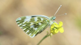 Pieridae Butterfly Wallpaper Gallery