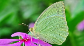 Pieridae Butterfly Wallpaper HQ