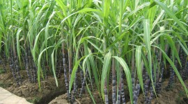 Sugarcane High Quality Wallpaper