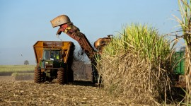Sugarcane Wallpaper Download