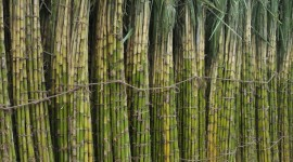 Sugarcane Wallpaper For IPhone
