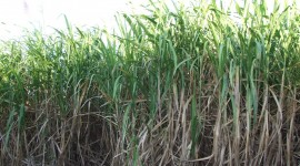 Sugarcane Wallpaper For PC