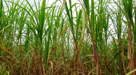 Sugarcane Wallpaper Free