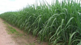 Sugarcane Wallpaper HD