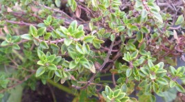 Thyme Wallpaper Download Free