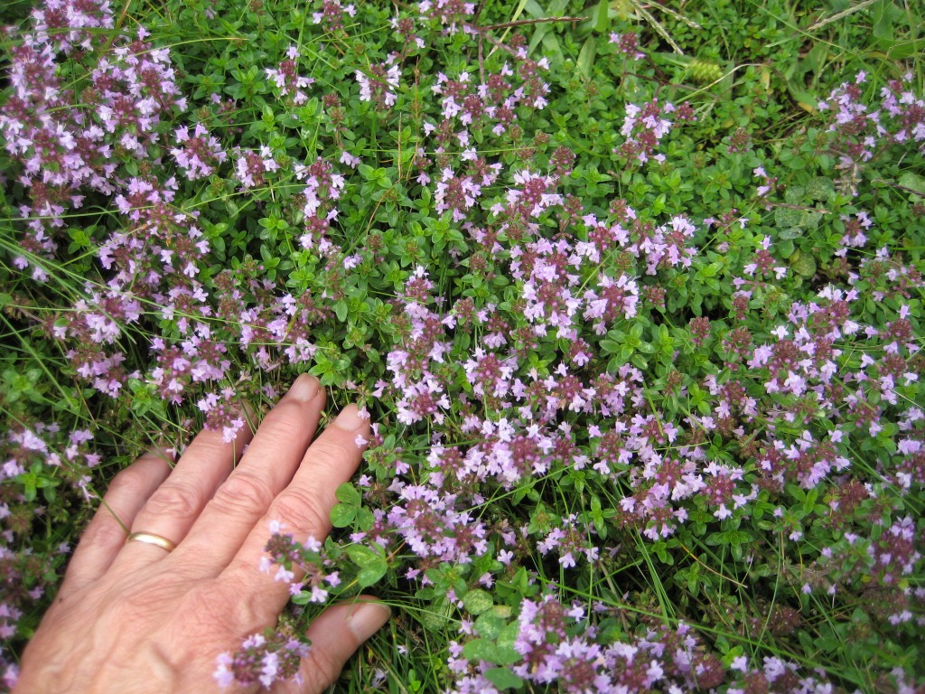 Thyme wallpapers HD