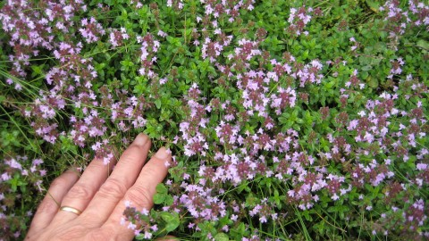Thyme wallpapers high quality
