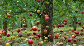 Autumn Apples Wallpaper Download