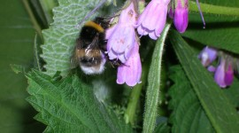 Comfrey Wallpaper Free