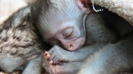 Monkeys Sleeping Best Wallpaper
