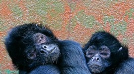 Monkeys Sleeping Photo Download