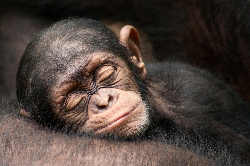 Monkeys Sleeping wallpapers HD