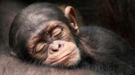 Monkeys Sleeping Wallpaper