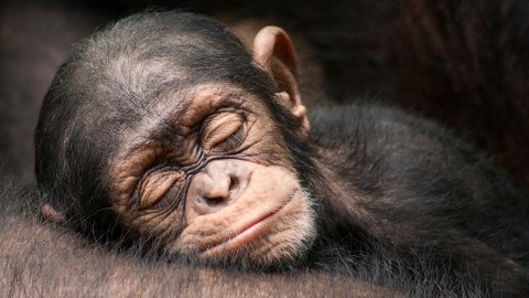 Monkeys Sleeping wallpapers high quality