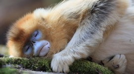 Monkeys Sleeping Wallpaper For PC