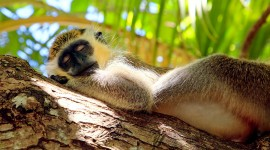 Monkeys Sleeping Wallpaper Free