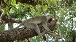 Monkeys Sleeping Wallpaper Gallery