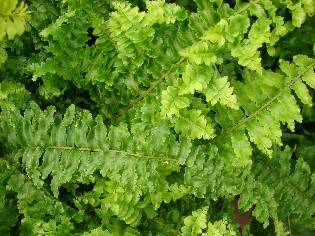 Nephrolepis wallpapers HD